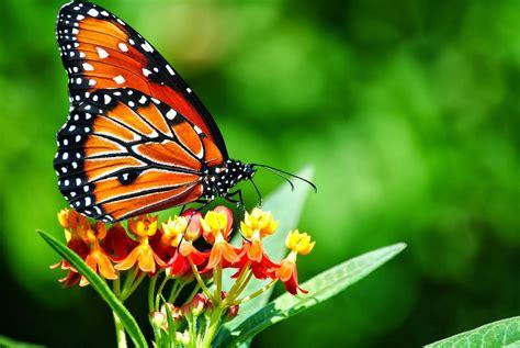 giardino farfalle piante quot cattura quot farfalle in giardino l eco di san