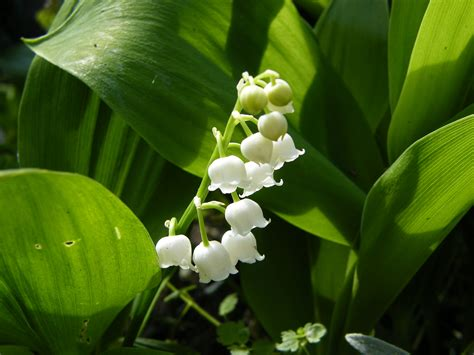 Plant Diseases Wikipedia - convallaria lily of the valley