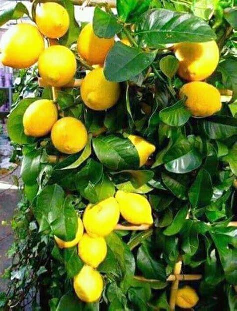 jeruk lemon tanpa biji 40 60cm jual bibit jeruk lemon amerika lemon tea di lapak udin