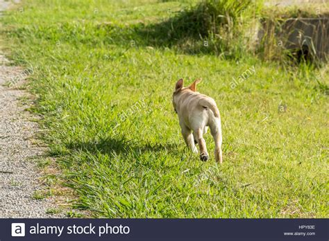 how to keep a golden puppy away from the xmas tree a labrador retriever puppy running away through a park with his stock photo royalty free
