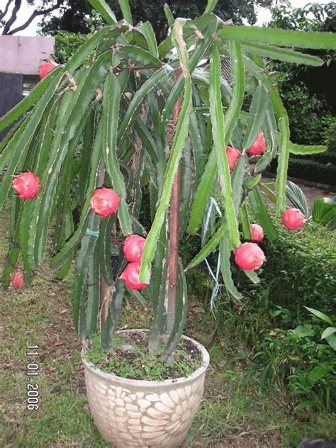 Pupuk Untuk Bunga Buah Naga jual nf pitaya nutrisi makro buah naga ozyshop