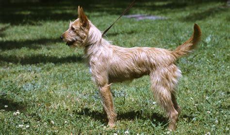 portuguese podengo puppies portuguese podengo breed information