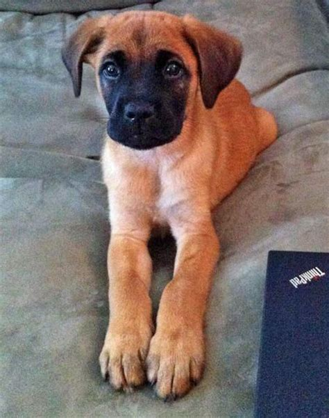 german shepherd boxer puppies best 20 boxer mix ideas on boxer mix puppies boxer pit mix and pitbull