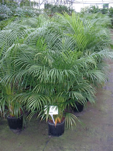areca palm 6 stylish houseplants that are safe for cats and dogs
