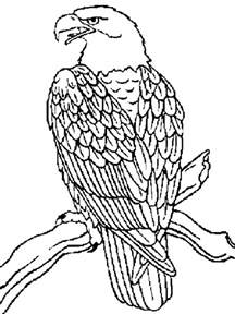 eagle coloring pages the 25 best eagle sketch ideas on tiger