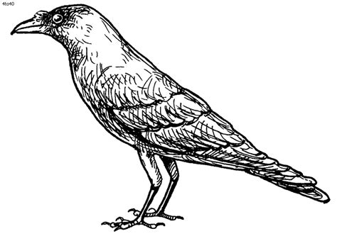 crow bird coloring page crow coloring pages coloring pages