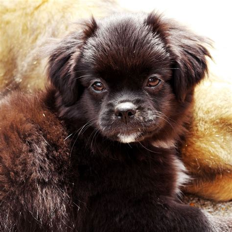 tibetan spaniel puppies sale tibetan spaniel puppies southton hshire pets4homes