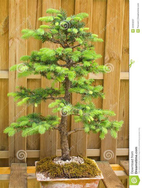 abete nano da giardino albero di abete nano immagine stock immagine di