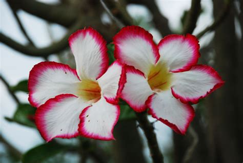 Bibit Bunga Matahari Semarang 7 cara jitu rawat adenium bebeja