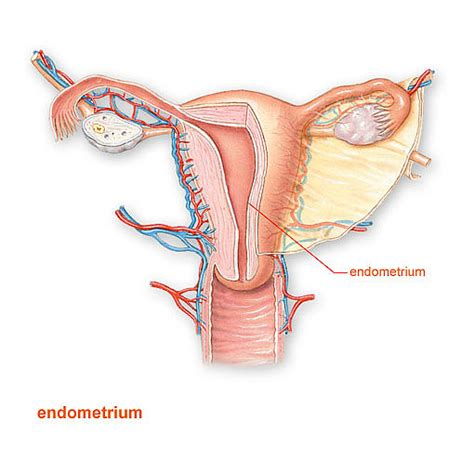 Layer Of Endometrium Shed During Menstruation by Endometriuminteractive Health