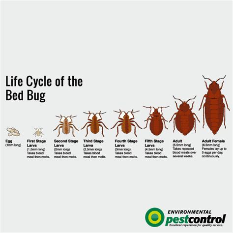 life cycle of a bed bug 7 things you didn t know about bed bugs environmental