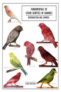 canary color a guide to colour canaries infobarrel