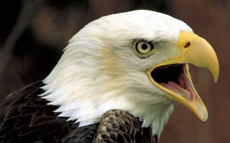 The Bald Eagle American Symbols how the bald eagle became america s national symbol