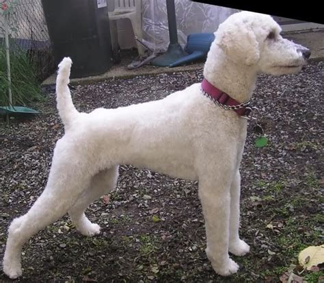 different styles of hair cuts for poodles best 25 poodle cuts ideas on pinterest poodles