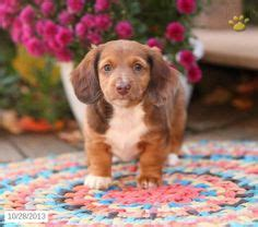 dachshund puppies for sale in lancaster pa 1000 images about dachshund on dachshund puppies for sale puppies for