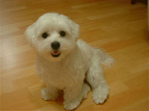 Do Maltese Dogs Shed Hair by Top 10 Breeds That Don T Shed Puppywire