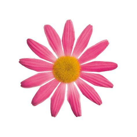 margherita fiore fiore margherita piccolo rosa mestnokolo si