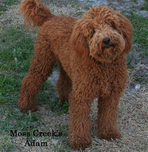 how much are goldendoodle puppies 15 must see goldendoodle pins golden doodles goldendoodle and goldendoodles