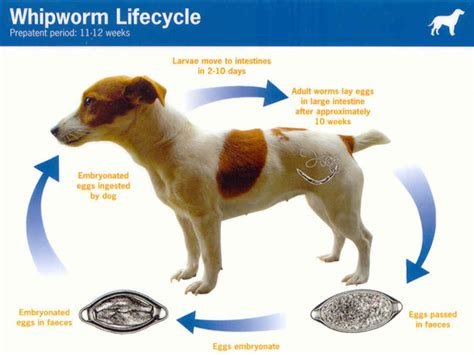 whipworms in dogs intestinal parasites worms gpg foster portal