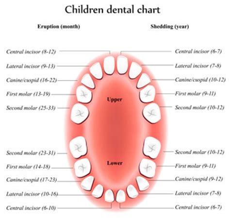 ages when baby teeth come in and fall out baby dental topics on caring for your child s teeth
