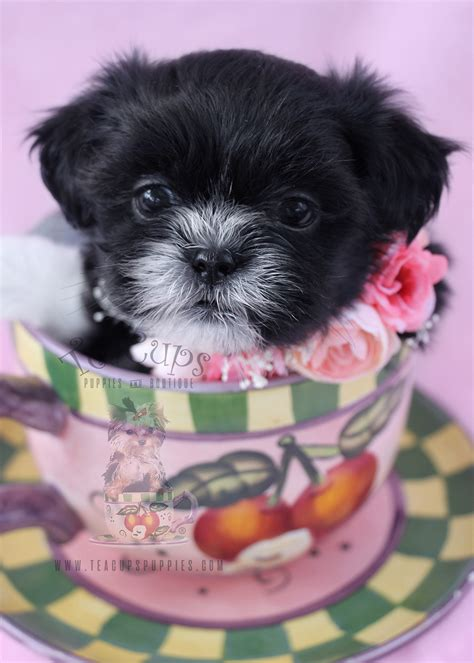 teacup shih tzu puppies for sale in florida chihuahua puppies for sale by teacups puppies and boutique teacups puppies boutique