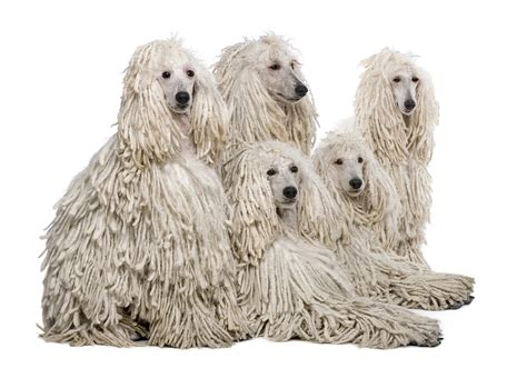 poodles long hair in winter brains and looks the poodle pets magazine