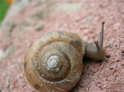 Brown Garden Snail by Snail Mating And Reproduction