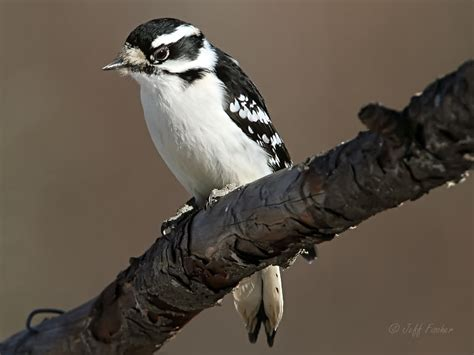 ecobirder downy woodpecker