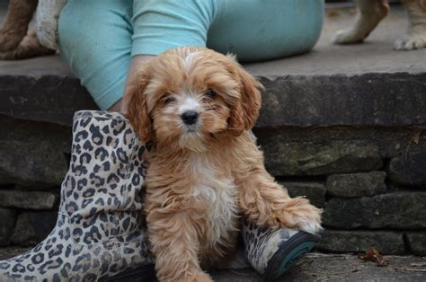 cavapoo puppies for sale in sc puppies for sale cavapoo cavapoo f category in greenville sc convenient to