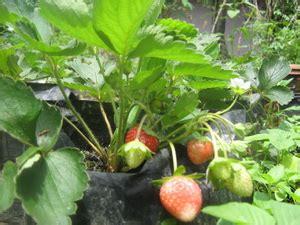 Buku Budidaya Stroberi Di Lahan Sempit yuk berkebun strawberry di pot fachri s