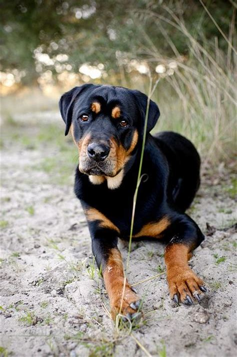 rottweiler lab puppy best 25 rottweiler mix ideas on rottweiler lab mixes lab mixes and