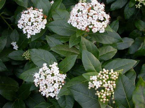 evergreen shrub with white flowers viburnum trees shrubs harley nursery shrewsbury