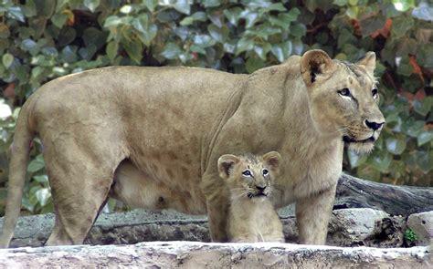 fotos animales zoo barcelona nace un le 243 n en el zoo de barcelona