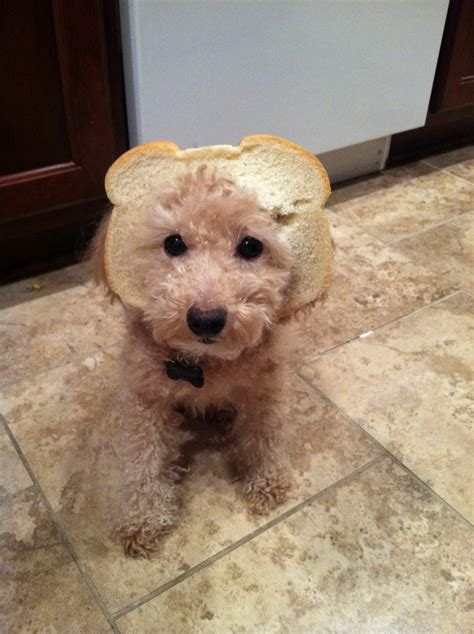 can yorkies eat bread 1000 images about breading on chihuahuas butter and yorkie