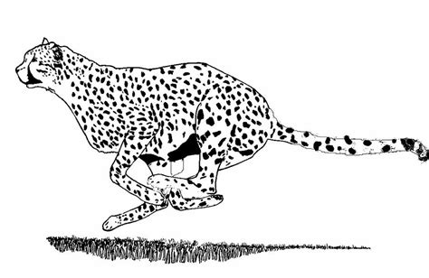 Running Cheetah Outline by Running Cheetah Spotted Drawing By Teresa Peterson