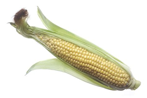 corn free stock photo an ear of raw corn 17055