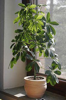engrais plante d int rieur plante d int 233 rieur wikip 233 dia