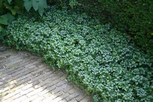 Home 187 plants ground cover 187 ground cover pachysandra terminalis
