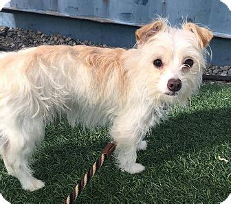 pomeranian silky terrier mix adopted puppy davis ca silky terrier pomeranian mix