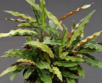 Kartuz Greenhouses: Calathea rufibarba Compact H