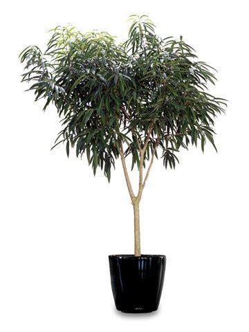 top indoor plants  air filters  homeficus alii