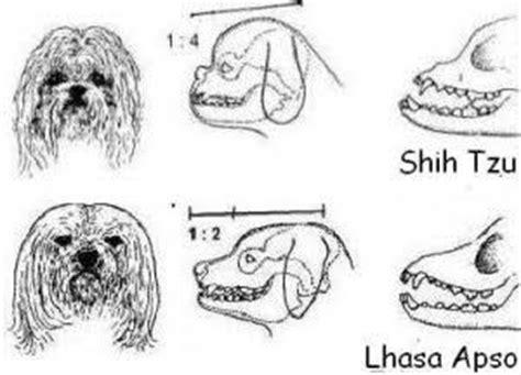 maltese x shih tzu x lhasa apso diferencias lhasa apso x shih tzu las estrellas que flotan perrera shih tzus