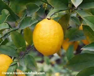 meyer lemon meyer lemon citrus x meyeri