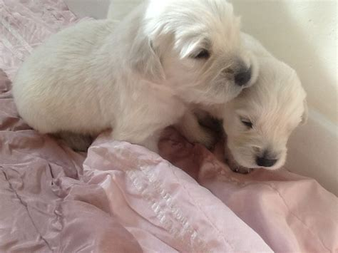 golden retriever puppies for sale in hshire golden retriever puppies warrington cheshire pets4homes