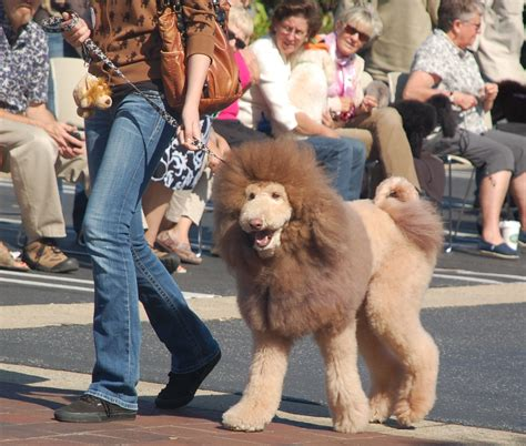 poodle cuts exles creative dog grooming lion ollie a white standard poodle