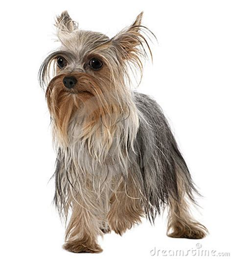 1 year yorkie pictures 1 year yorkies pictures terrier 1 year standing royalty free stock