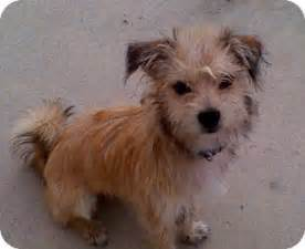 haired dorkie mixes oddie adopted dog naples fl yorkie yorkshire
