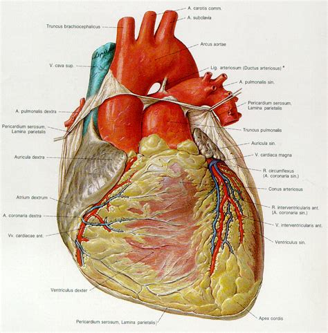 the anatomy of a human heart structure diabetes inc