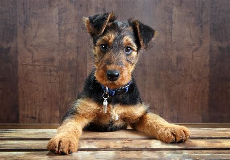 airedale puppies for sale airedale terrier puppies for sale akc puppyfinder