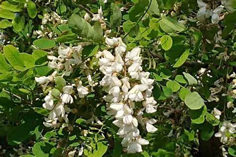 fiori acacia ricette con i fiori di acacia ambiente bio